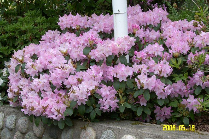 Rh. Marnheims Pink